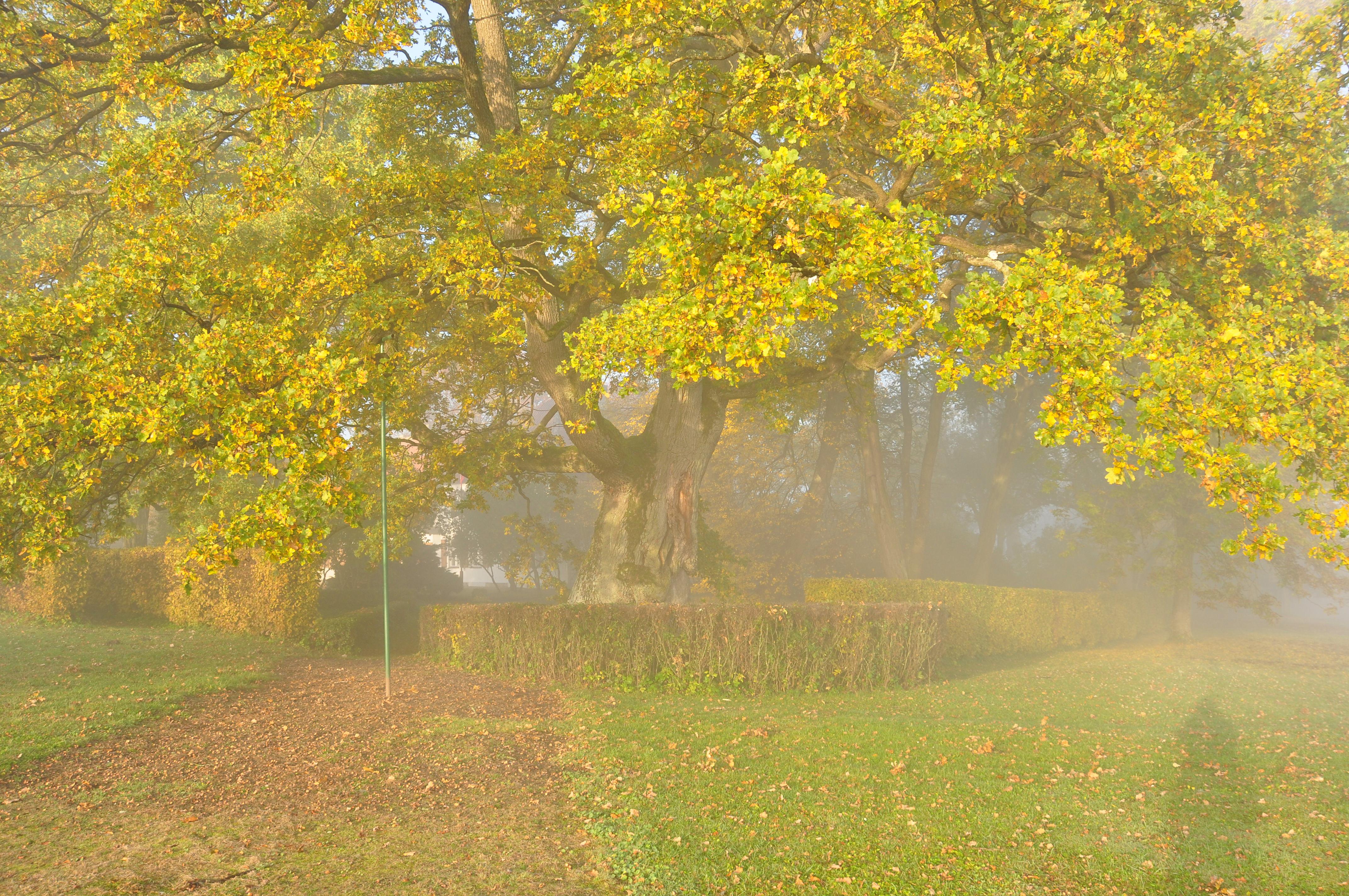 Dąb Wybickiego jesienią we mgle