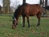 Parkur - niewielki konik o ogromnym sercu, który pracuje jako koń-terapeuta w Zespole Szkół Specjalnych nr 4 w Sosnowcu. Hucuł ten to 56. koń Klubu Gaja.