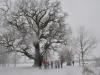 Dąb Słowianin piękny również zimą.